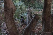 Joe, notre ami swamp Wallaby