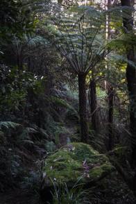 Les arbres-fougère