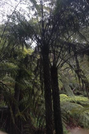 Les arbres-fougères ont l'air d'aimer l'humidité