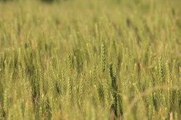 Fin du printemps, début de l'été... bref les blés sont verts!