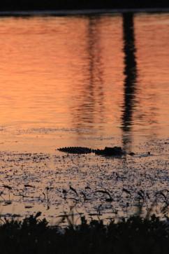 Notre nouvel ami le crocodile