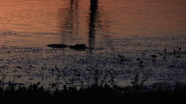 Crocodile dans Yellow Waters