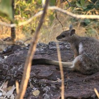 Un rock Wallaby