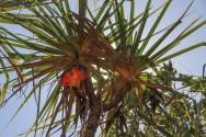 Les fruits du palmier
