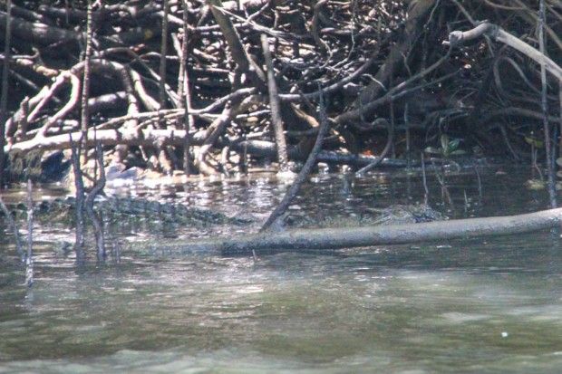 Can you see the croc?
