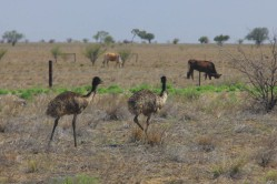 My first Emus!!!